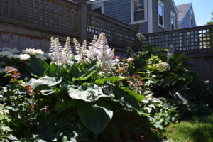 Hostas Nantucket