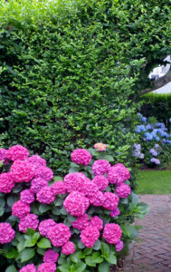 Nantucket Privet and Hydrangea
